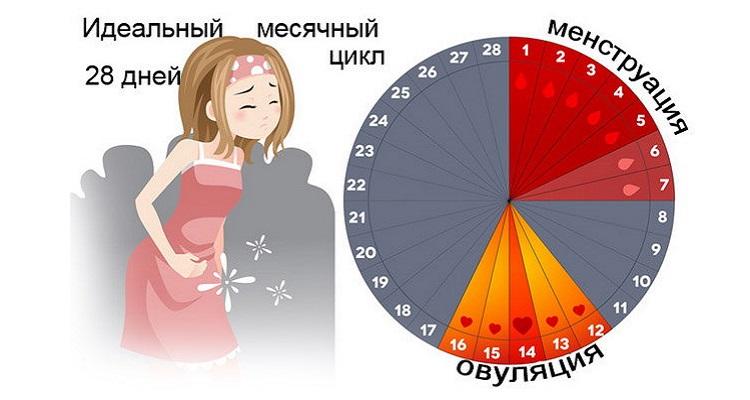 Фазы менструального цикла в норме